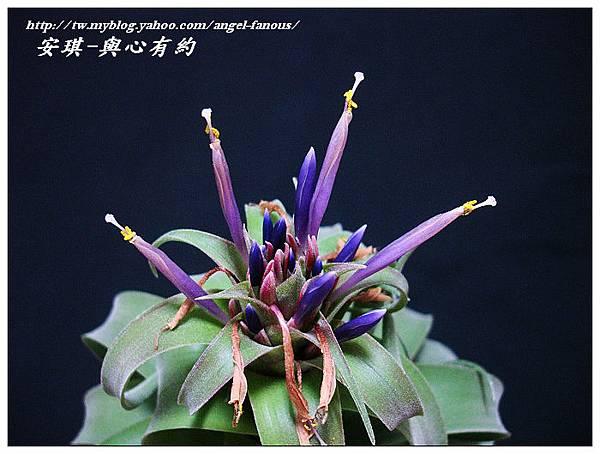 空氣鳳梨 Tillandsia streptophylla × xerographica 電捲燙×霸王鳳19 (1).jpg