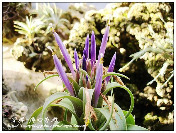 空氣鳳梨 Tillandsia streptophylla × xerographica 電捲燙×霸王鳳20 (1).jpg