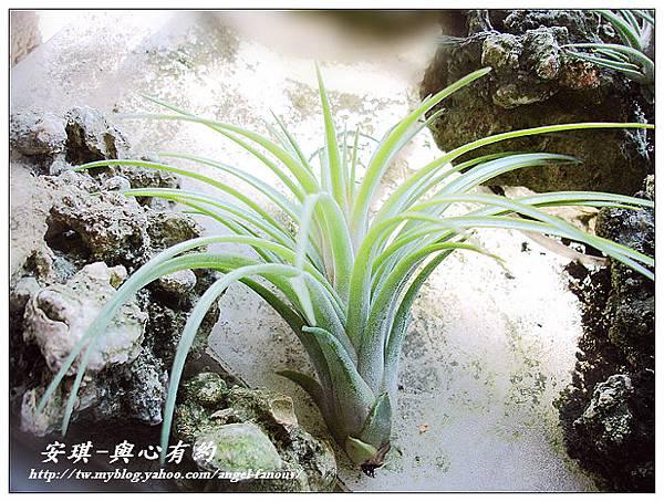 空氣鳳梨 Tillandsia 'Victoria' 維多利亞1 (1).jpg