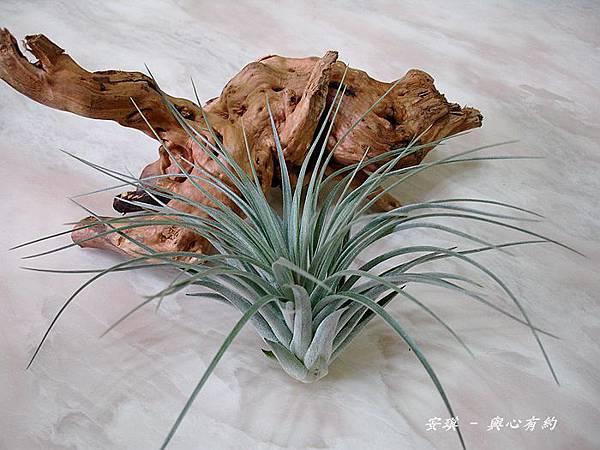 空氣鳳梨 Tillandsia %5CHouston%5C (stricta × recurvifolia) 休士頓 1 (2).jpg