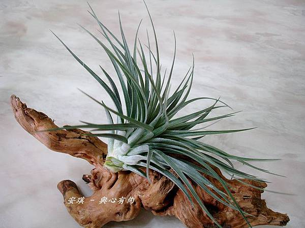 空氣鳳梨 Tillandsia %5CHouston%5C (stricta × recurvifolia) 休士頓 2 (2).jpg