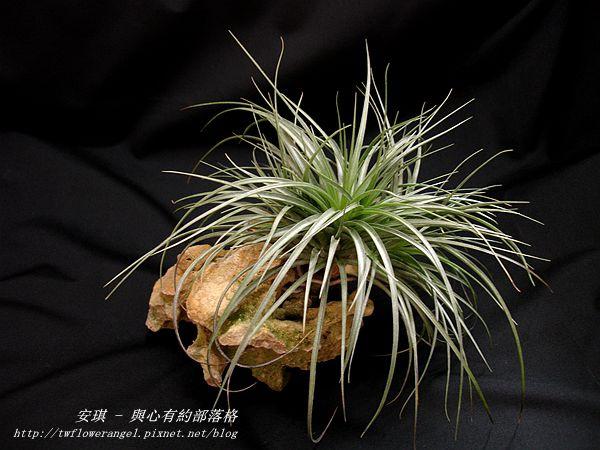 空氣鳳梨 Tillandsia %5CHouston%5C (stricta × recurvifolia) 休士頓 3 (2).jpg