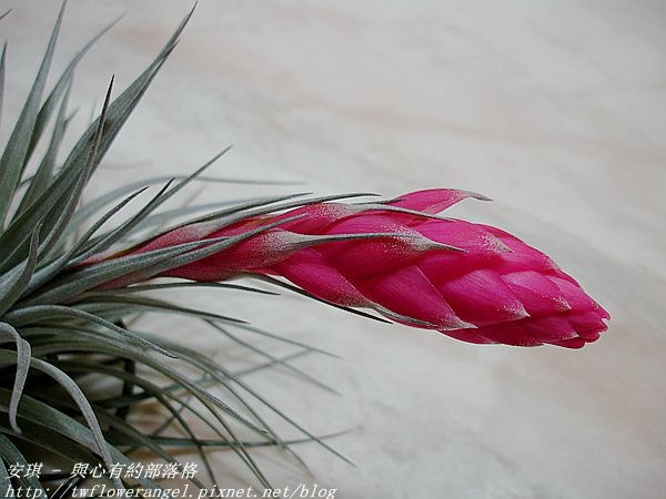 空氣鳳梨 Tillandsia %5CHouston%5C (stricta × recurvifolia) 休士頓 7 (2).jpg