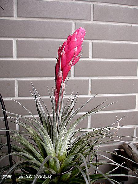 空氣鳳梨 Tillandsia %5CHouston%5C (stricta × recurvifolia) 休士頓 9 (2).jpg