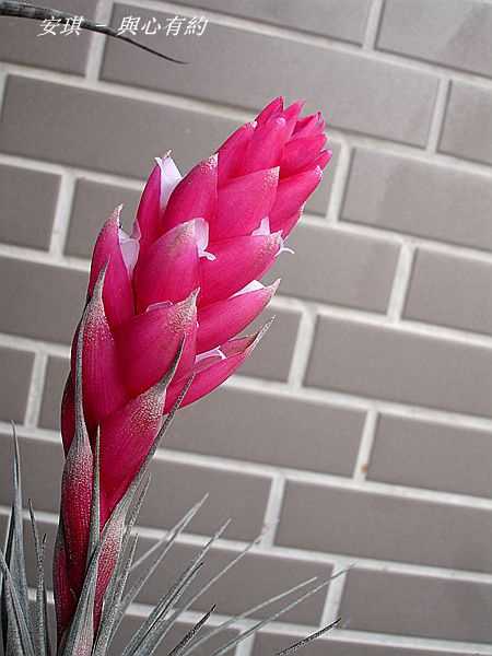 空氣鳳梨 Tillandsia %5CHouston%5C (stricta × recurvifolia) 休士頓 10 (2).jpg