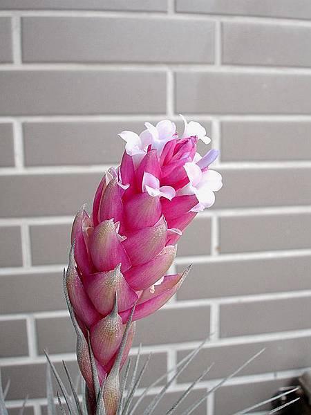 空氣鳳梨 Tillandsia %5CHouston%5C (stricta × recurvifolia) 休士頓 11 (2).jpg