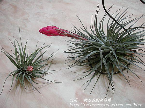 空氣鳳梨 Tillandsia %5CHouston%5C (stricta × recurvifolia) 休士頓 13 (2).jpg