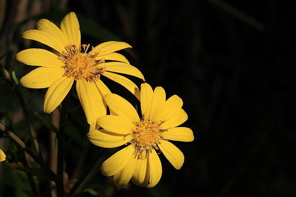 花現台灣  山菊
