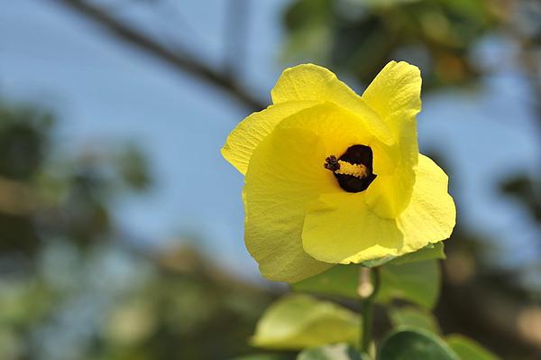 花現台灣  黃槿