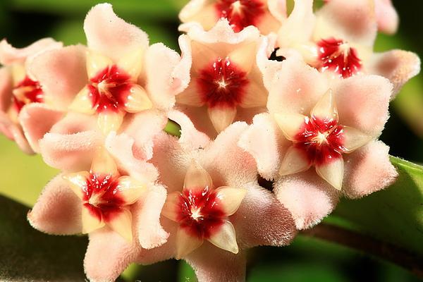 花現台灣  毬蘭