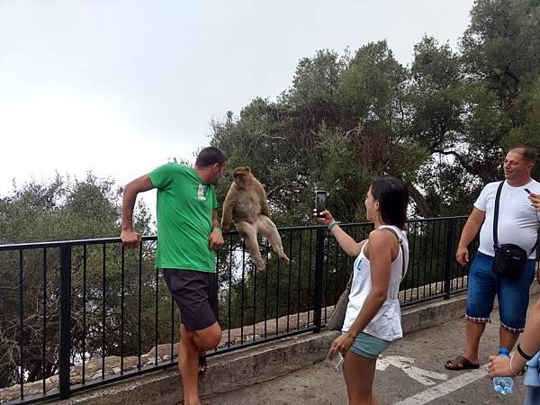 直布羅陀山頂的野生猴子,外國人都人高猴大.jpg