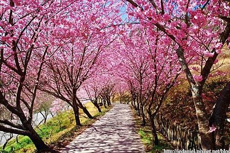 櫻花(網路圖)