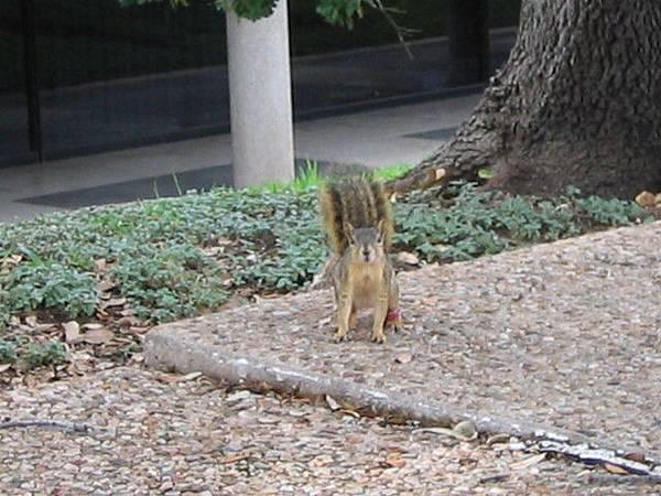 Austin大學內的小松鼠