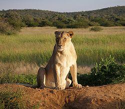 250px-Okonjima_Lioness