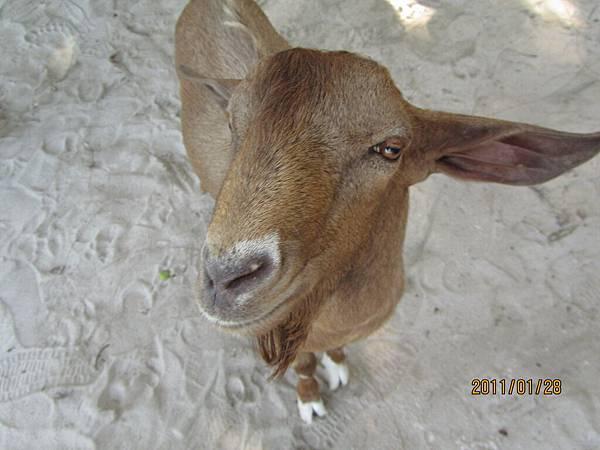 桃花島上的羊.JPG