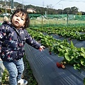 0117-關西採草莓-001.jpg