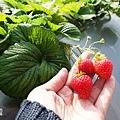 0117-關西採草莓-005.jpg