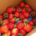 0117-關西採草莓-007.jpg