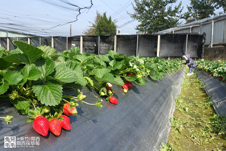 0117-關西採草莓-012.jpg