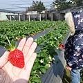 0117-關西採草莓-011.jpg