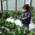 0117-關西採草莓-014.jpg