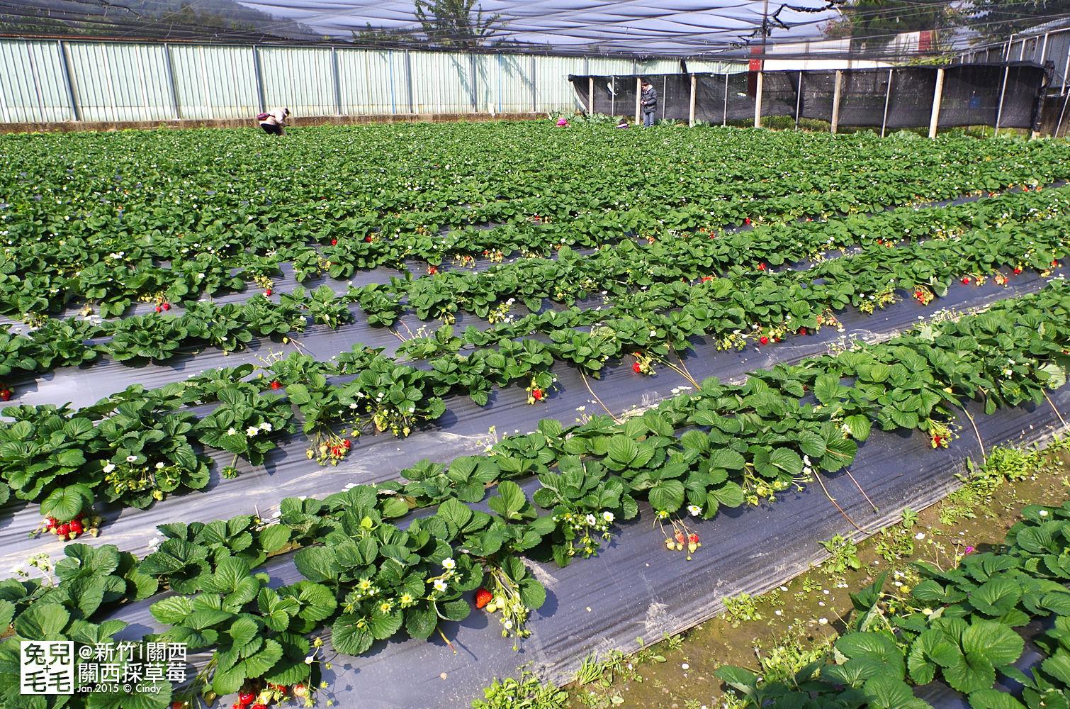 0117-關西採草莓-025.jpg
