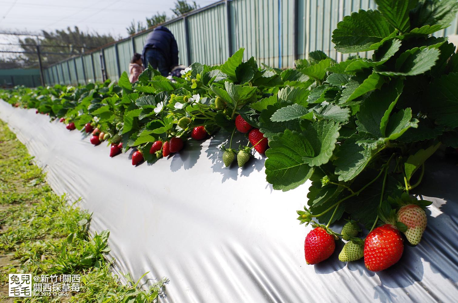 0117-關西採草莓-026.jpg