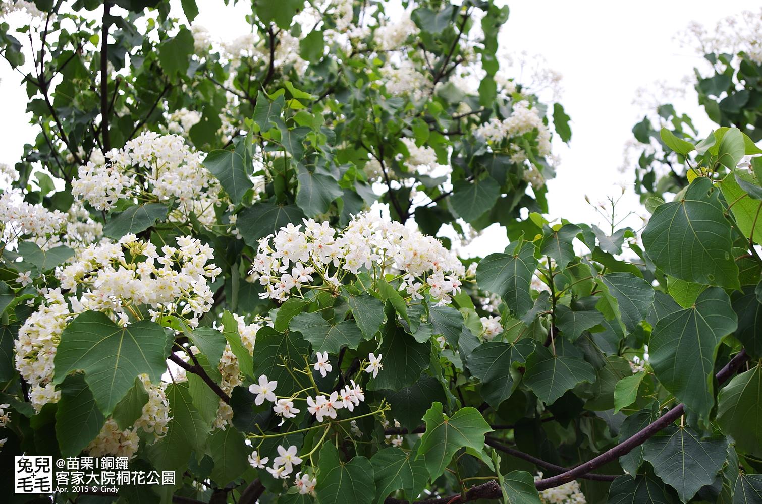 2015-0420-客家大院賞桐花-06.jpg