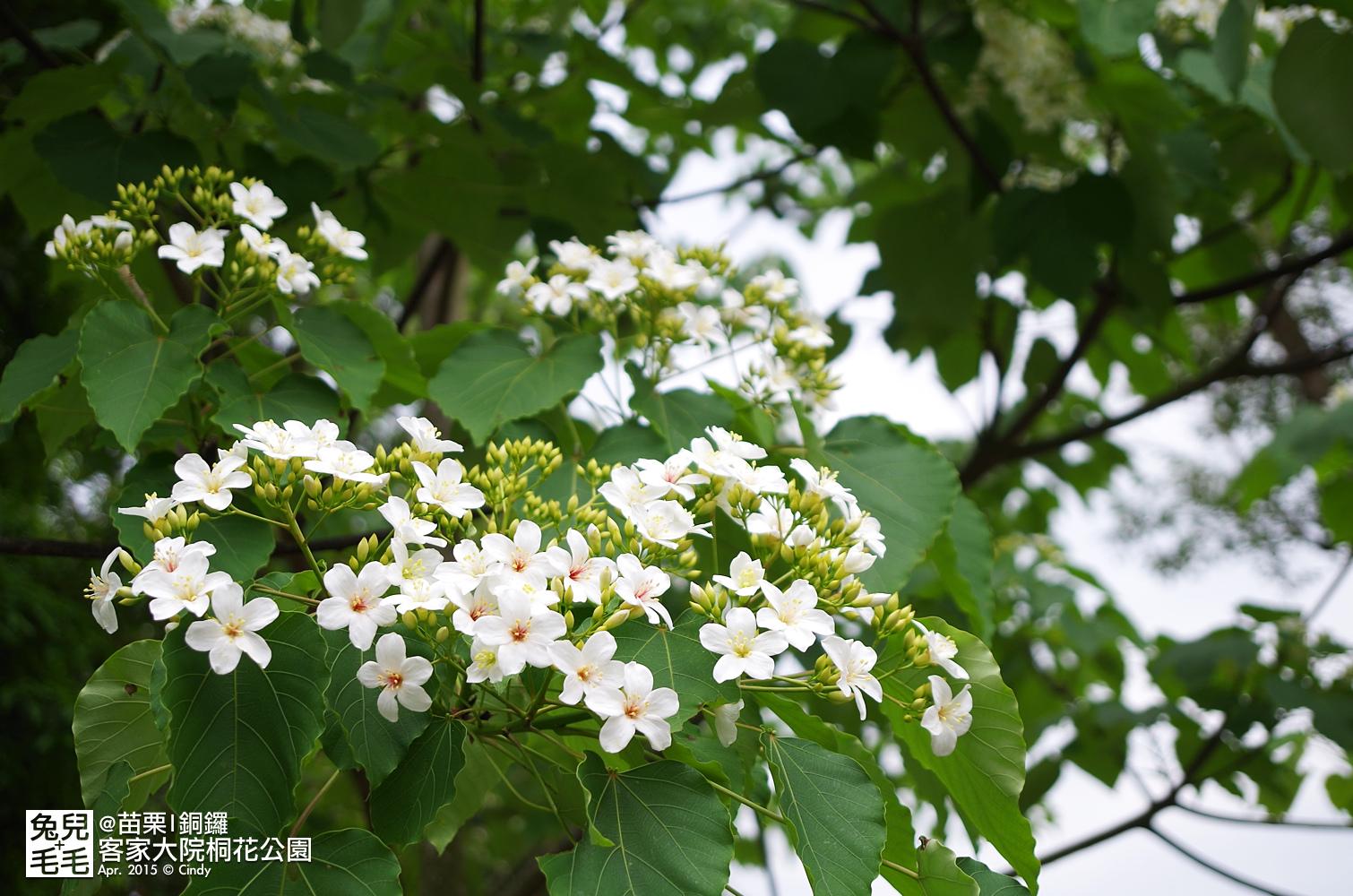 2015-0420-客家大院賞桐花-16.jpg