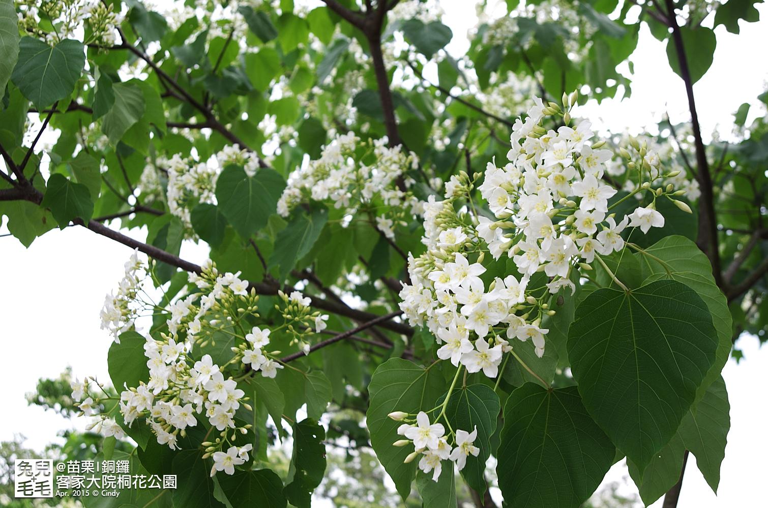 2015-0420-客家大院賞桐花-37.jpg