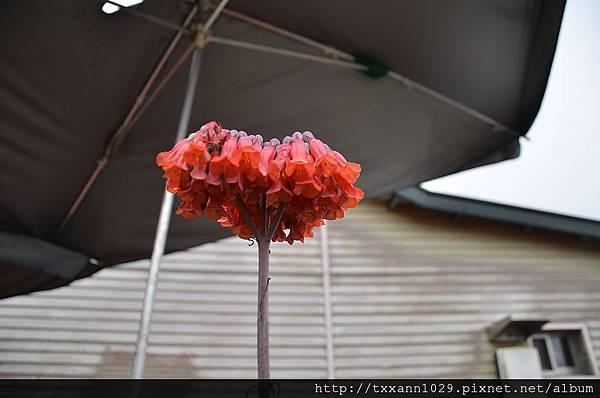 1210樹番茄之花0.jpg
