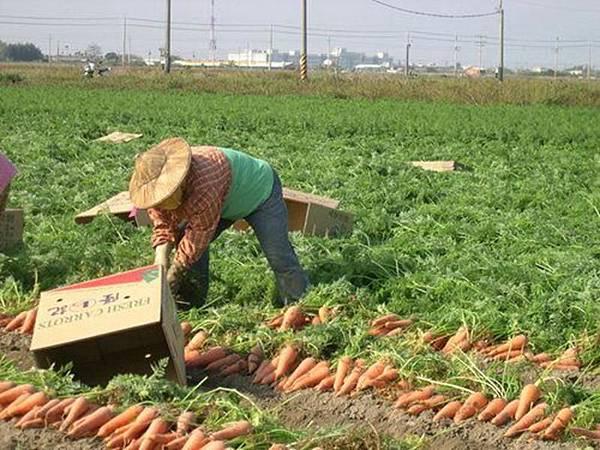 0302020胡蘿蔔產業文化.jpg