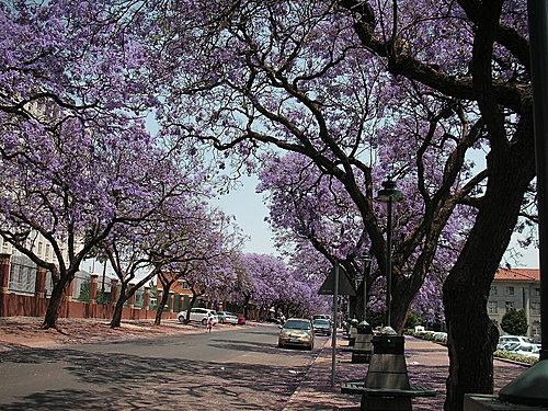 紫薇花[jacaranda]