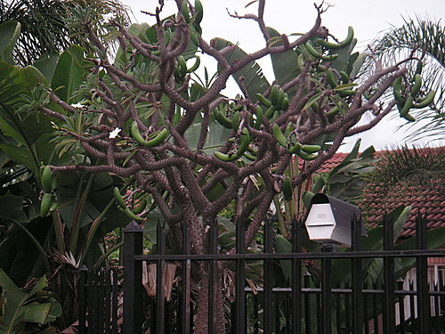 奇異 的樹 結實累累