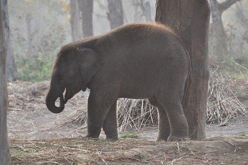 120321尼泊爾之旅[ni]10個月小象 344