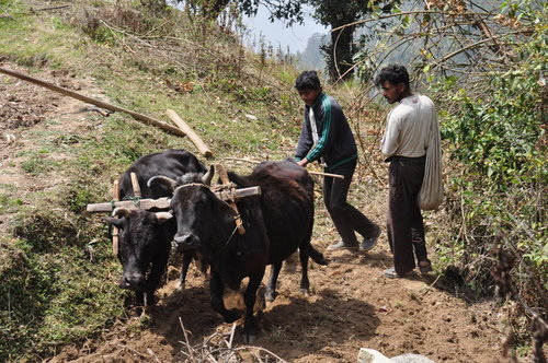 120321尼泊爾之旅耕作[ni] 642