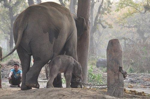 120321尼泊爾之旅3月22日出生的小象[ni] 335
