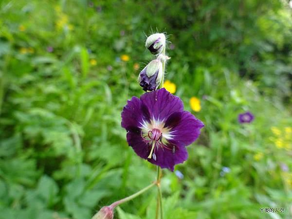 20140517紫色花[sony小sw1] 305.jpg