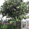 IMG_0059毛柿.JPG