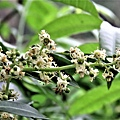 IMG_0078橄欖花.JPG