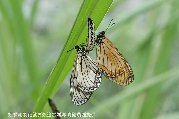 細蝶剛羽化就要被強迫當媽媽-1.JPG
