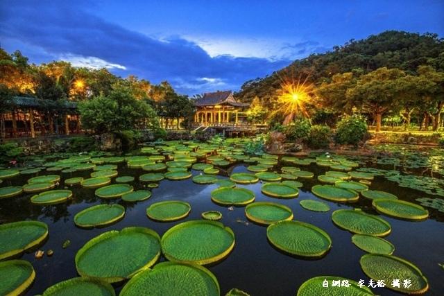 雙溪公園滿池壯觀的大王蓮-攝影李光裕-800x534-1.jpg