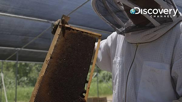 蜜蜂滅亡新發現