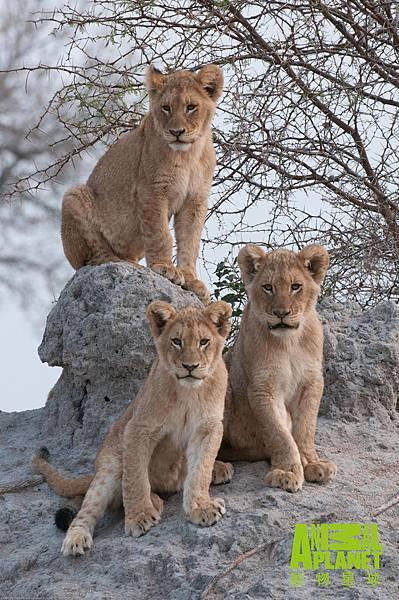 動物星球頻道《獅王之路》從這群馬波侯獅群仍是小獅子時就開始記錄傳奇的一生