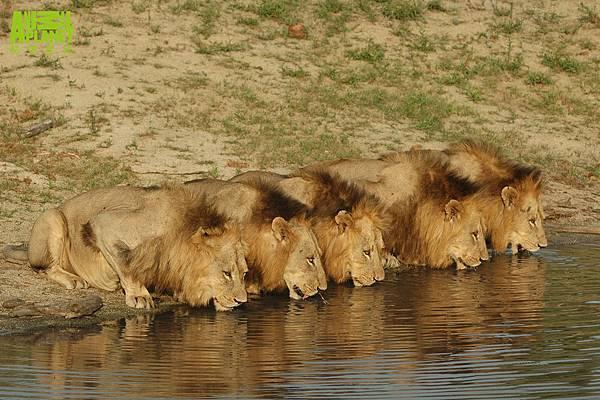馬波候六獅幫共同聚在河邊喝水,是獅子界難得的畫面
