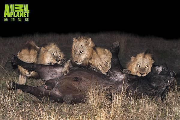 強壯的馬波侯獅群橫行南非草原