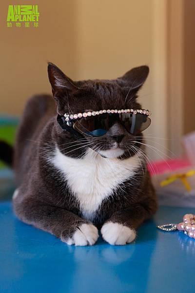貓星球最時尚墨鏡貓