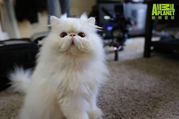 波斯貓布雷姆利有著一身雪白蓬鬆的毛髮