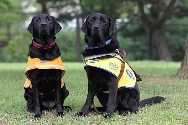 照片由左而右為台灣導盲犬協會3年前贈予韓國三星導盲犬培訓學校的導盲犬種Helen與其所生育的導盲犬Tamra