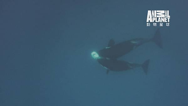 大白鯊已淪為虎鯨的獵物 被狠狠咬住